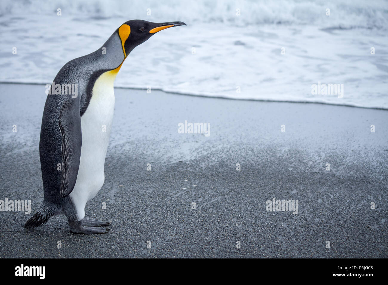 Single King Penguin on beach, left of frame looking right - Stock Image