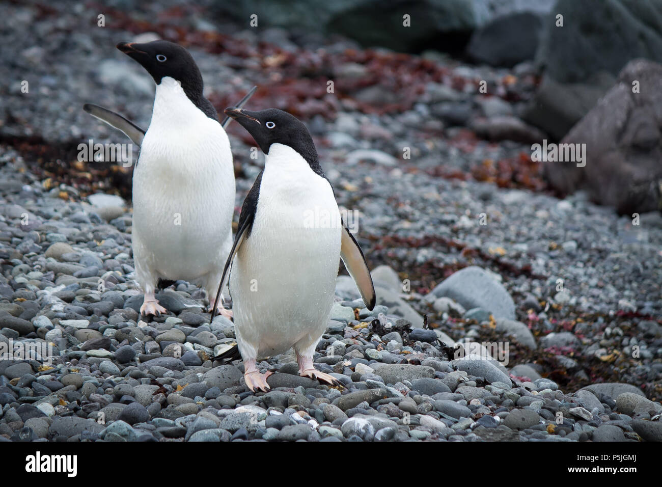 Pair of Adelie Penguins looking left - Stock Image