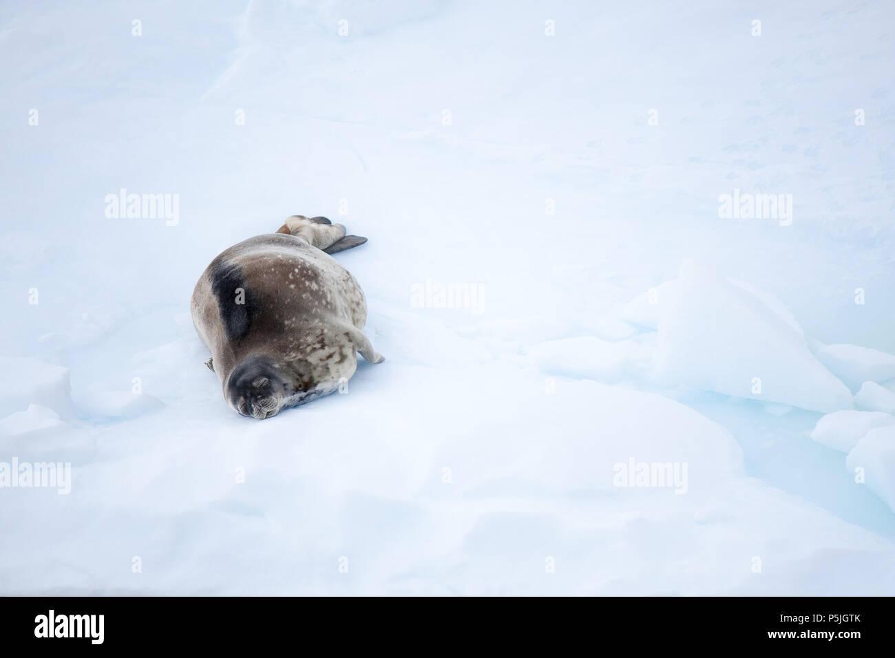 Weddell Seal on an ice floe, Antarctica - Stock Image