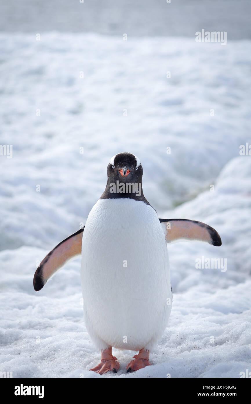 Gentoo Penguin, Antarctica - Stock Image