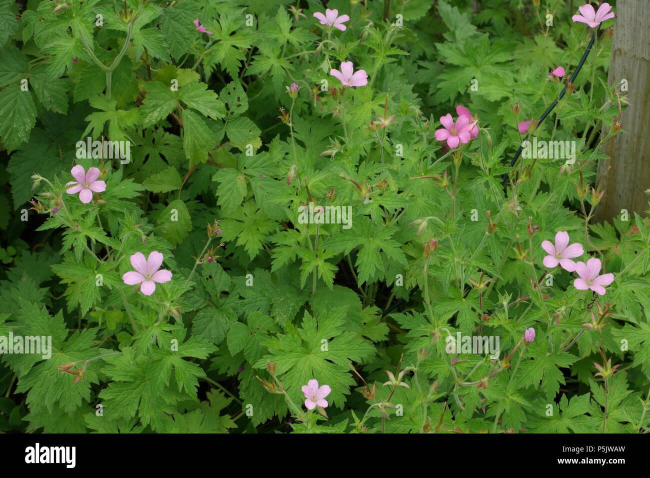 Geranium endressii / Endress Cranesbill / Basken-Storchschnabel - Stock Image