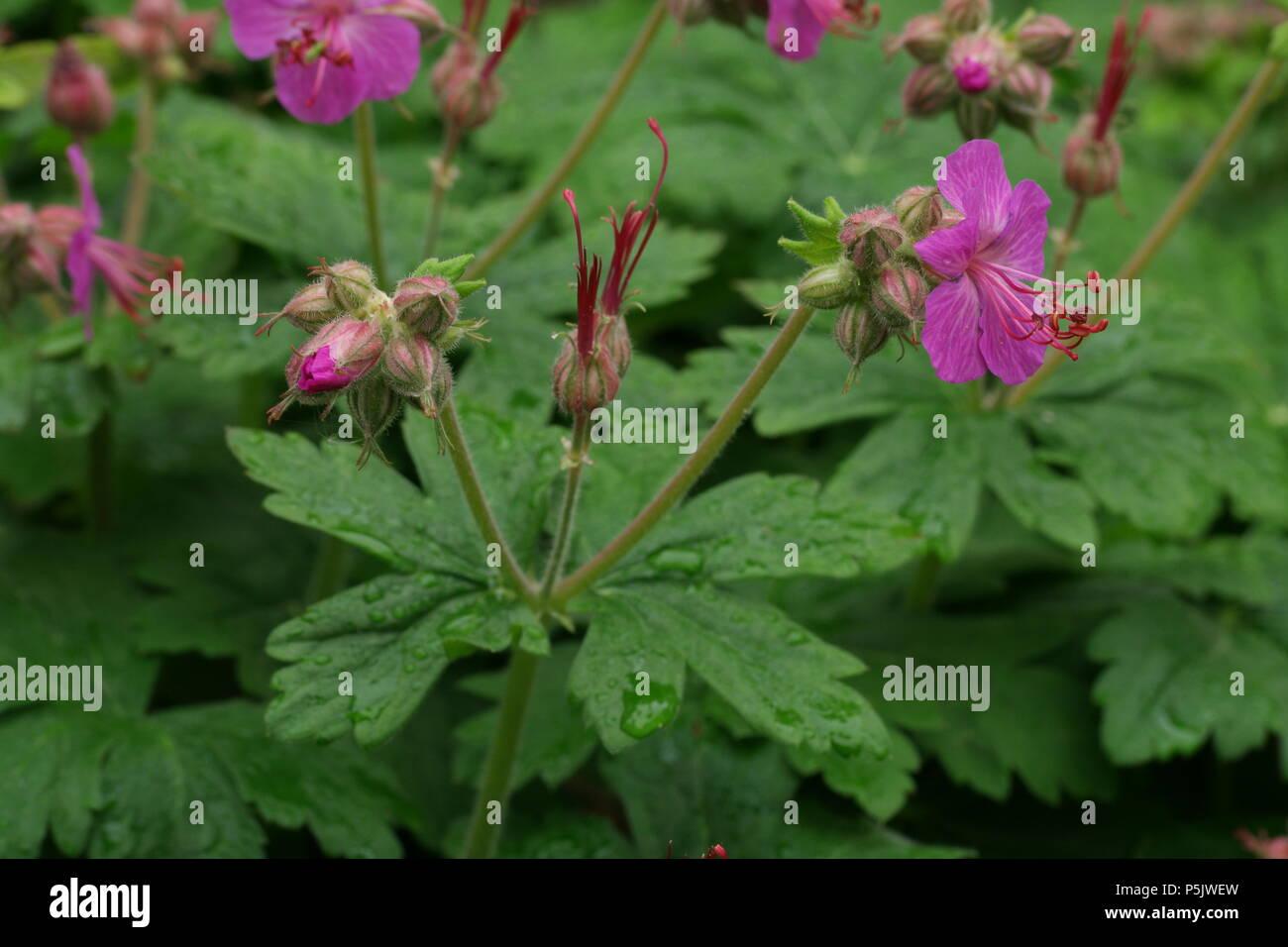 Geranium macrorrhizum / Bigroot Geranium / Balkan-Storchschnabel - Stock Image