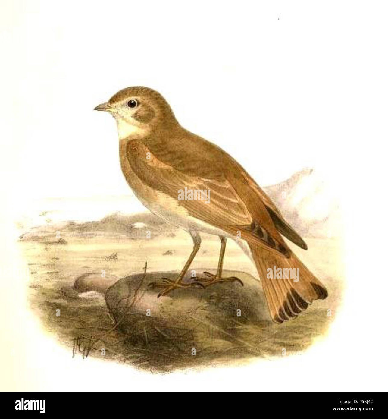 N/A. English: Ammomanes cinctura (Bar-tailed Lark) Français : Ammomanes cinctura (Ammomane élégante) .   John Gould  (1804–1881)      Alternative names Gould  Description British zoologist  Date of birth/death 14 September 1804 2 March 1881  Location of birth/death Lyme Regis London  Authority control  : Q313787 VIAF:29597222 ISNI:0000 0001 2125 9888 ULAN:500006638 LCCN:n79100355 NLA:35137514 WorldCat 94 Ammomanes cinctura Gould - Stock Image