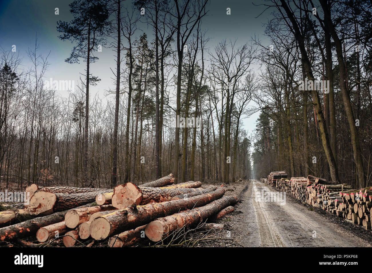 Track through a winter forest with felled trees on either side. Dark moody sky, stark landscape in Chojnow (Chojnowski) Forest, Piaseczno area, Poland - Stock Image