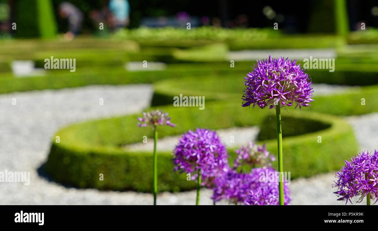 Purple ornamental garlic (Allium hollandicum) with low depth of field in front of a baroque garden, Germany - Stock Image
