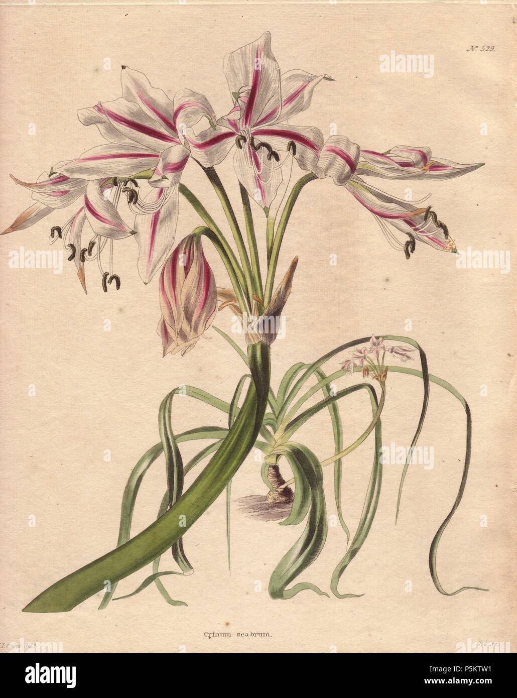 Crinum Scabrum Pale Pink Crinum With Langorous White And Pink