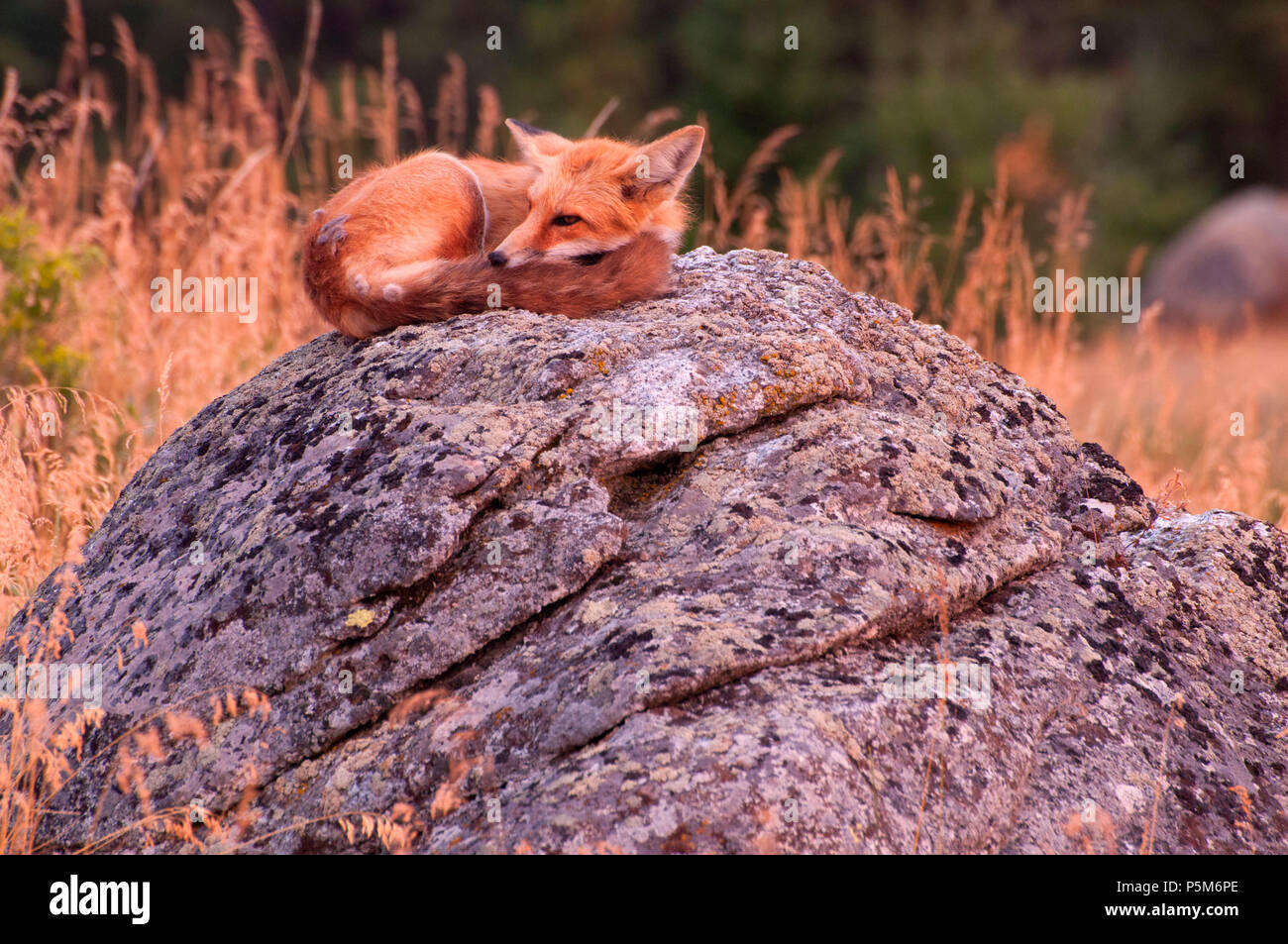 Red fox, Iwetemlaykin State Park, Hells Canyon National Scenic Byway, Oregon - Stock Image