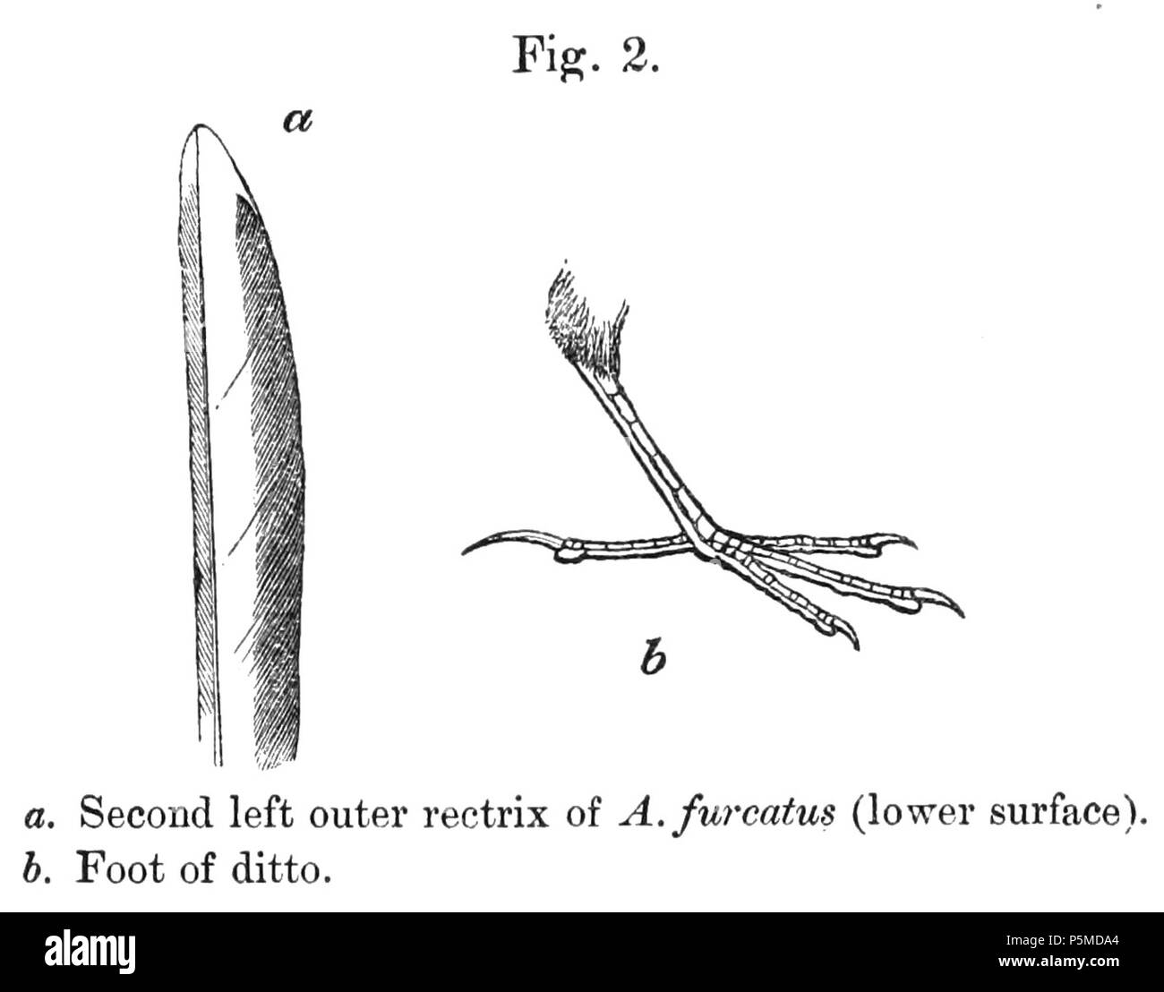 N/A.  English: «Anthus furcatus» = Anthus furcatus (Short-billed Pipit) - second left outer retrix (lower surface) and foot Français: «Anthus furcatus» = Anthus furcatus (Pipit à plastron) - seconde rectrice externe gauche (surface inférieure) et patte . 1878.   Philip Sclater (1829–1913)   Alternative names Philip Lutley Sclater; Sclater; P. L. Sclater  Description British lawyer and zoologist  Date of birth/death 4 November 1829 27 June 1913  Location of birth/death Tangier Park in Hampshire Odiham  Authority control  : Q435725 VIAF:44414898 ISNI:0000 0001 2130 4554 LCCN:n85085981 NL - Stock Image