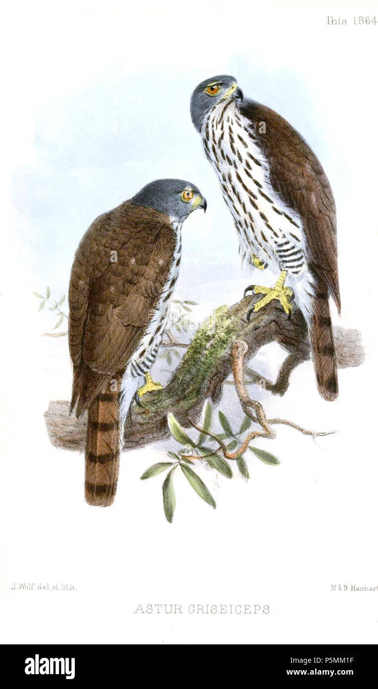 N/A.  English: « Astur griseiceps » = Accipiter griseiceps (Sulawesi Goshawk) Français: « Astur griseiceps » = Accipiter griseiceps (Autour des Célèbes) . 1864.   Joseph Wolf  (1820–1899)     Alternative names Matthias Wolf; Joseph Wolff; Josef Wolf; Matthias Wolff  Description German artist  Date of birth/death 21 January 1820 20 April 1899  Location of birth/death Mörz, Germany London  Work location London  Authority control  : Q1708274 VIAF:54950825 ISNI:0000 0000 8384 0531 ULAN:500006240 LCCN:n80006277 NLA:36115701 WorldCat 144 AsturGriseicepsWolf - Stock Image