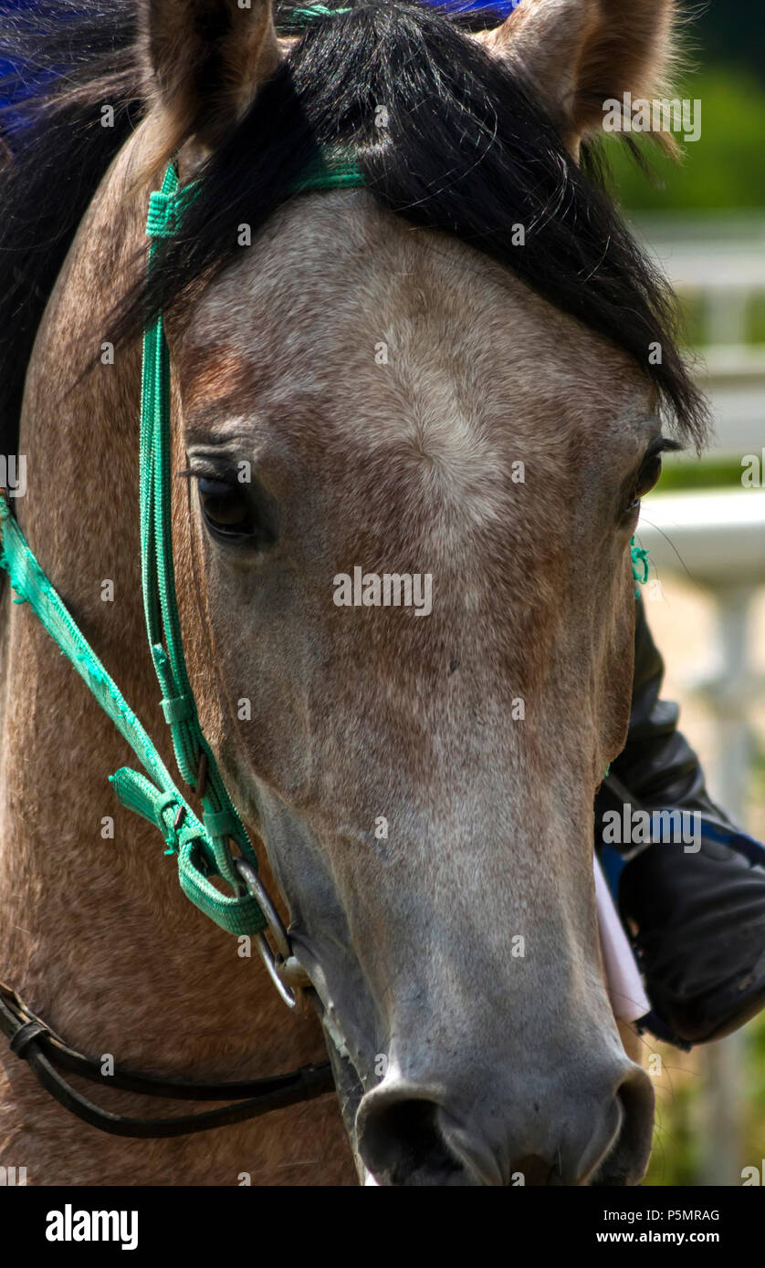 Portrait of a arabian horse after horse racing for the Great Summer Prize in Pyatigorsk,Caucasus,Russia. - Stock Image