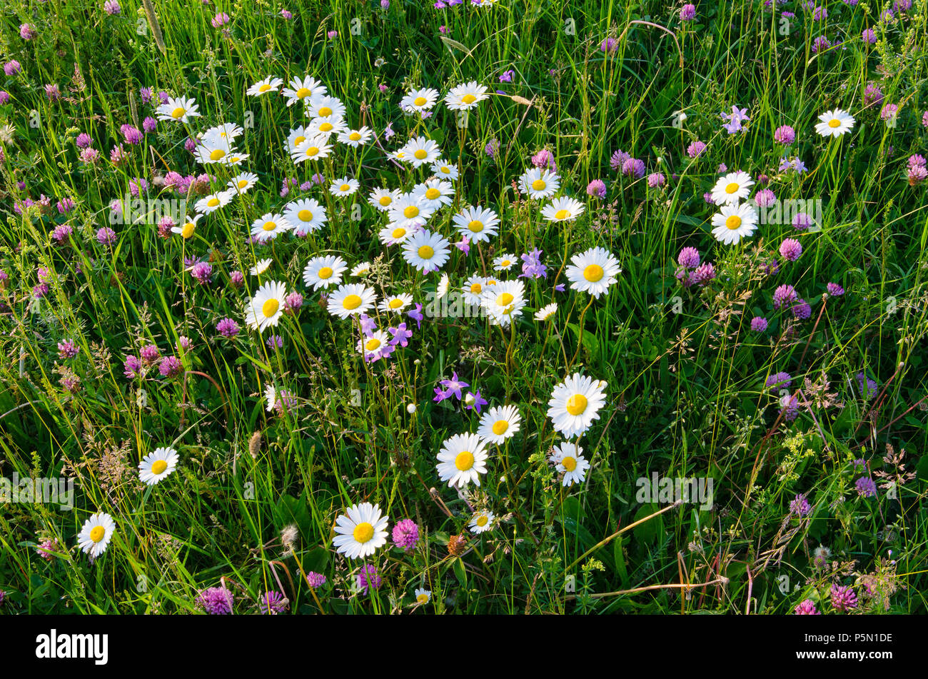 Daisies Blooming In The Wild Flower Field Stock Photo 210059850 Alamy