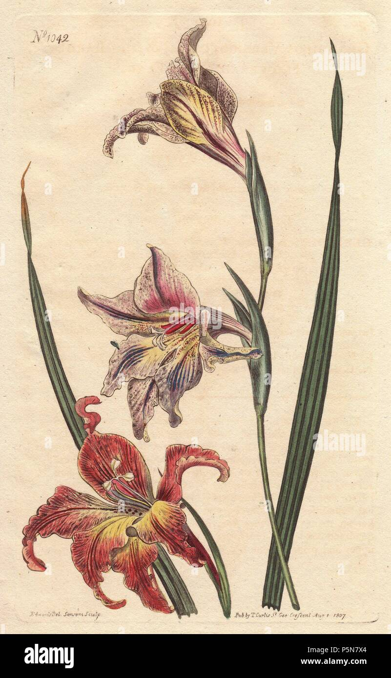 Large-flowered corn-flag or large brown afrikaner, with mottled flowers in scarlet and pale pink, native to South Africa.. . Gladiolus liliaceus (Gladiolus versicolor). . Handcolored copperplate engraving from a botanical illustration by Sydenham Edwards from William Curtis's 'Botanical Magazine' 1790-1800. - Stock Image