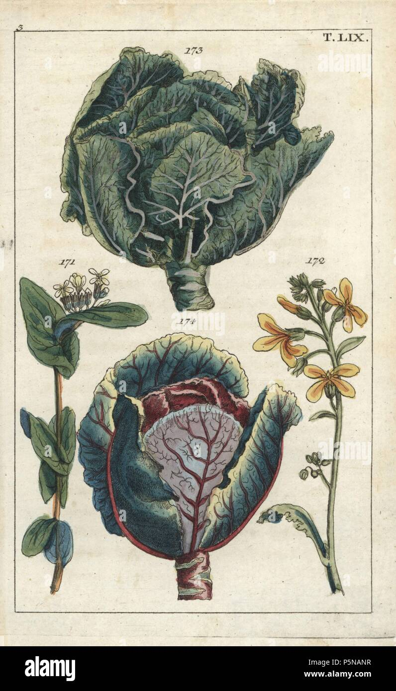 Cabbage Brassica Oleracea Capitata Flower 172 And Head Of Leaves