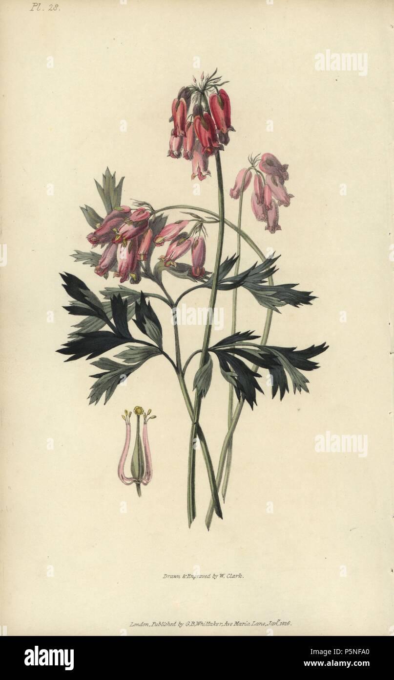 Fringed Bleeding Heart Dicentra Eximia Handcoloured Botanical