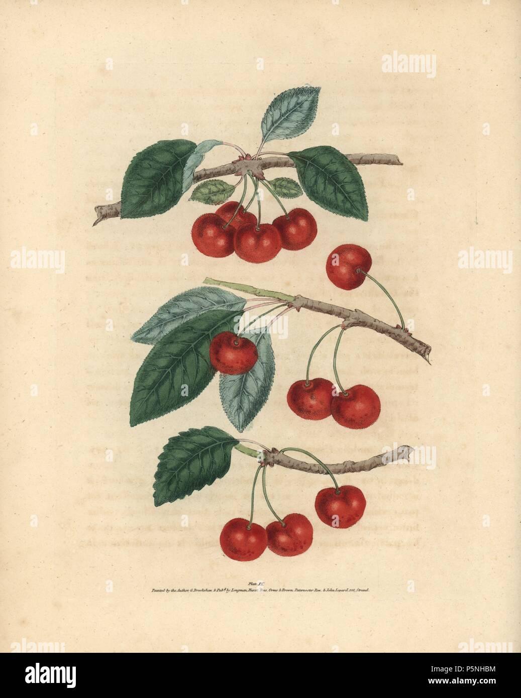 English cherry The English
