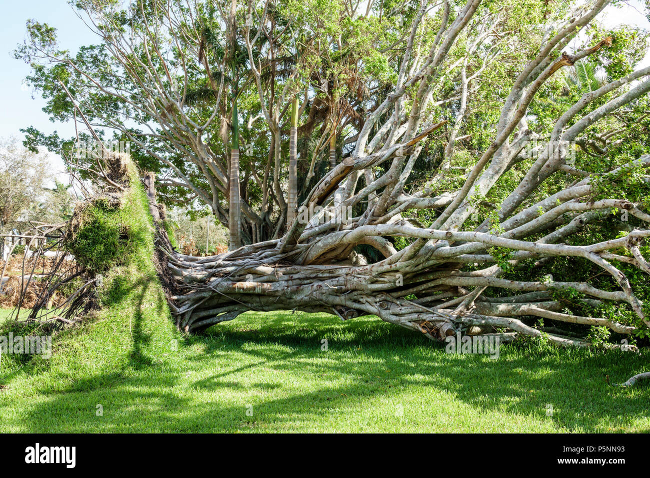 Naples Florida Crayton Road Hurricane Irma wind storm damage destruction aftermath fallen toppled over large tree root system lawn - Stock Image