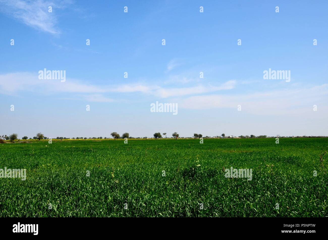 Lush green farm fields with crops and horizon in rural Sindh Mirpurkhas Pakistan - Stock Image