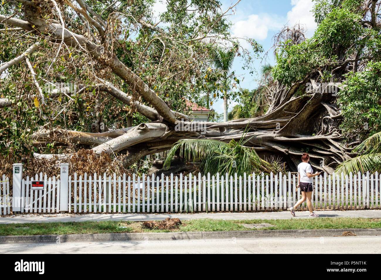 Fort Ft. Myers Florida McGregor Boulevard Edison & Ford Winter Estates fallen giant Mysore fig Ficus myorensis tree exposed root system Hurricane Irma storm wind damage destruction aftermath woman walking passerby white picket fence - Stock Image