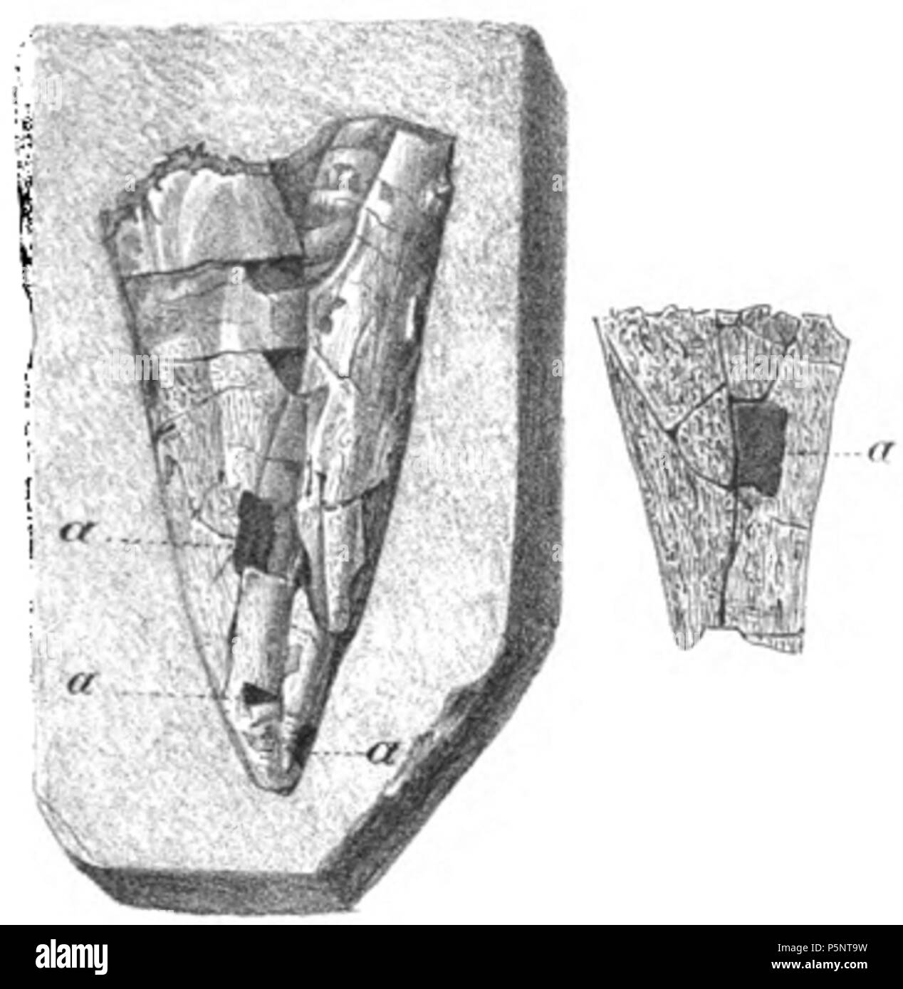 N/A. English: The apical portion of the phragmocone of a Belemnotheutis invested with the external integument; at a, a, a, is seen the corneo-calcareous layer which lies beneath. To the right is slightly magnified to show the striated surface; a. marks a denuded space, exposing the internal layer. 1848. Gideon Mantell 184 Belemnotheutis phragmocone 1 - Stock Image
