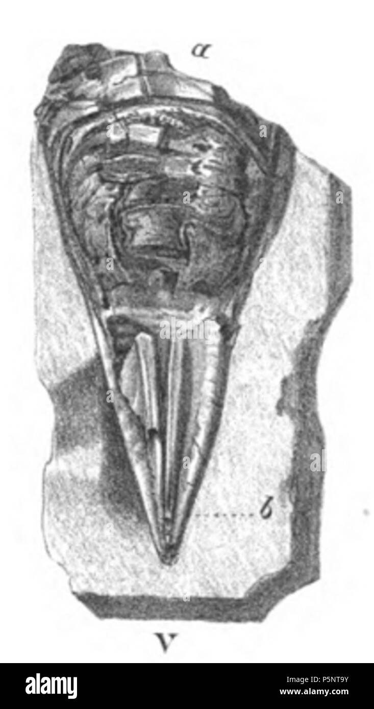 N/A. English: A phragmocone showing the ventral ()* aspect of the chambered apex, with two parallel longitudinal bands extending upwards (b)  (actually dorsal, Mantell was incorrect)  . 1848. Gideon Mantell 184 Belemnotheutis phragmocone ventral - Stock Image