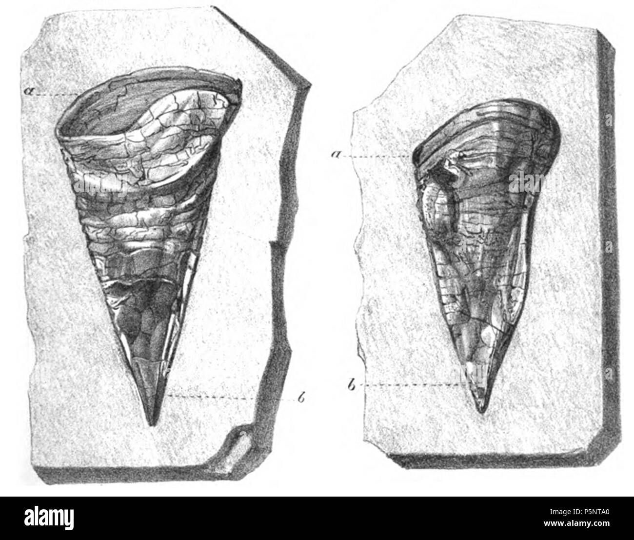 N/A. English: Left:Perfect form of peristome, a; though much compressed, the cavity of the chamber, partially filled with clay, is well-defined Right:This specimen is also perfect, but in consequence of its position in the clay, only one-half of the basal or upper part of the margin of the peristome (a) is visible . 1848. Gideon Mantell 184 Belemnotheutis phragmocones - Stock Image
