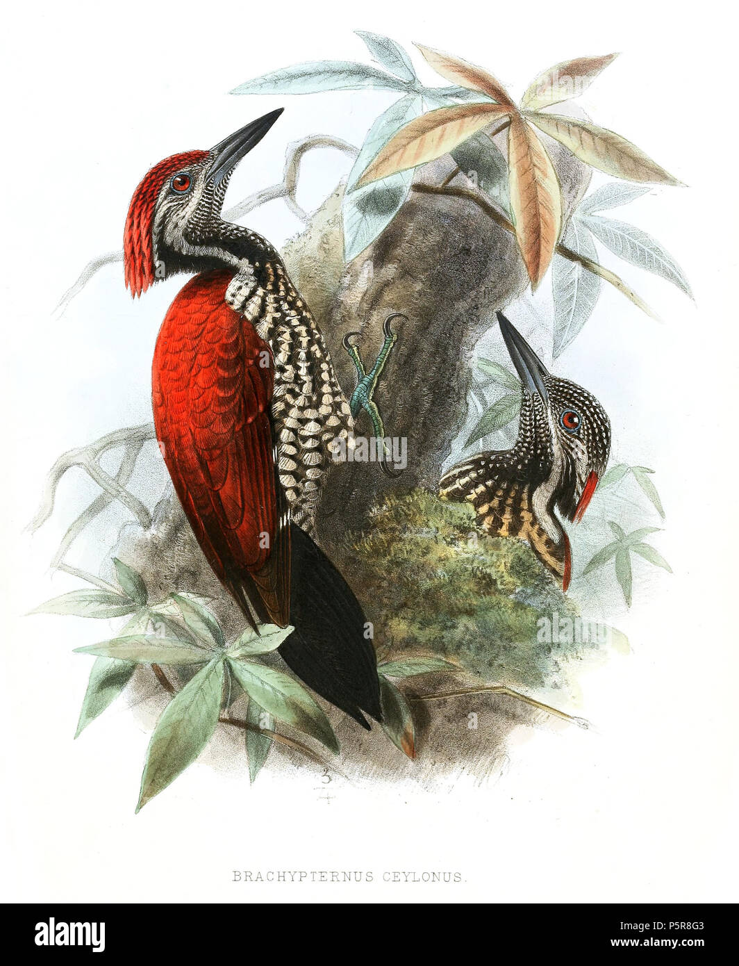 N/A. Brachypternus ceylons=Chrysocolaptes stricklandi . 1878.   John Gerrard Keulemans  (1842–1912)      Alternative names Johannes Gerardus Keulemans; J. G. Keulemans  Description Dutch ornithologist and artist  Date of birth/death 8 June 1842 29 December 1912  Location of birth/death Rotterdam London  Authority control  : Q1335286 VIAF:42113661 ISNI:0000 0000 6313 981X ULAN:500041975 LCCN:no98083374 NLA:35268760 WorldCat 228 BrachypternusCeylonusLegge - Stock Image