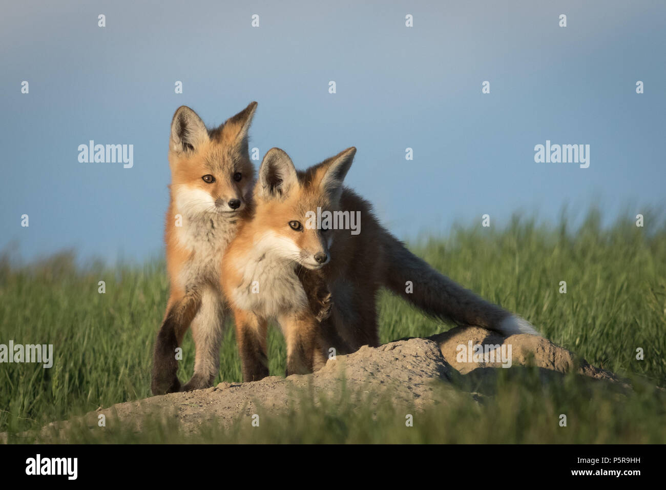 Two Red Fox kits showing some brotherly love. - Stock Image