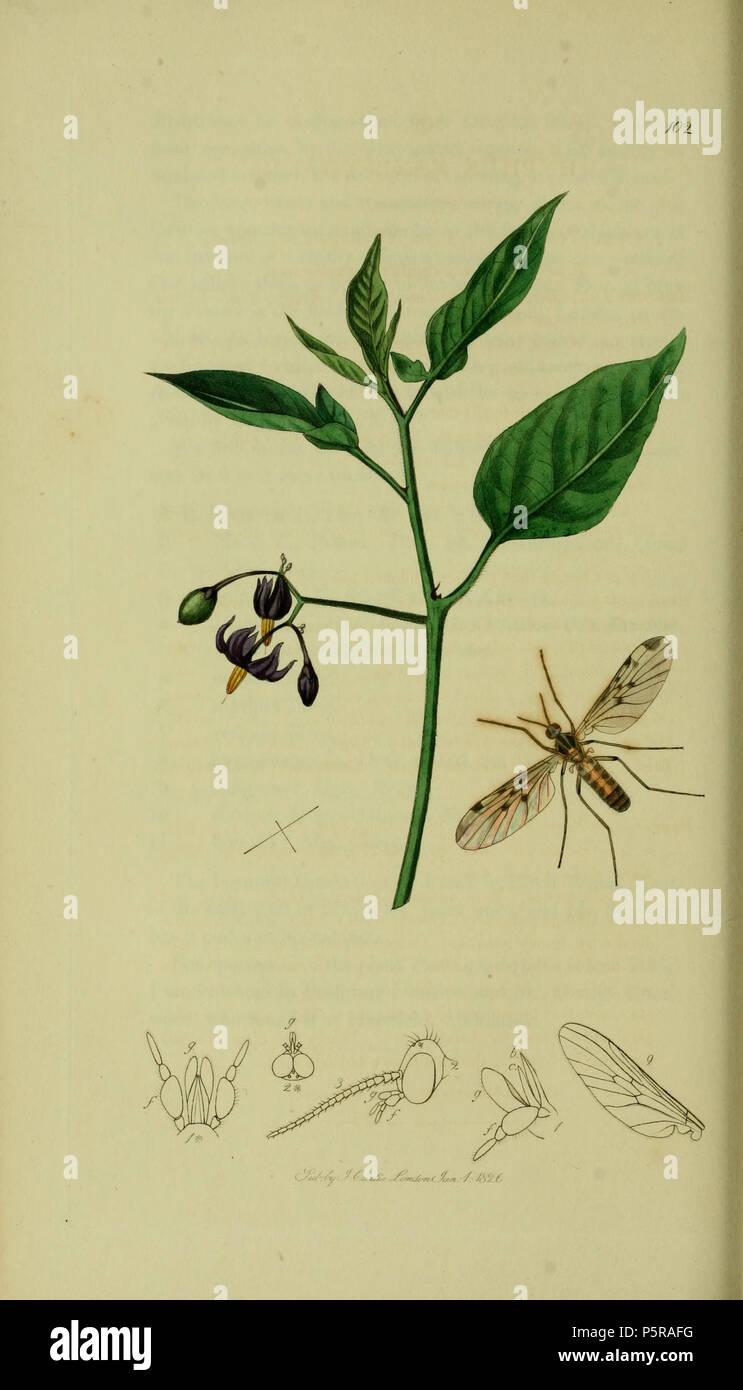 N/A. English: John Curtis British Entomology Folio 102 Rhyphus fenestralis = Sylvicola fenestralis (Domestic Gnat-like fly). The plant is Solanum dulcamara (Bitter-sweet) . 1836. John Curtis 237 Britishentomologyvolume8Plate102 - Stock Image