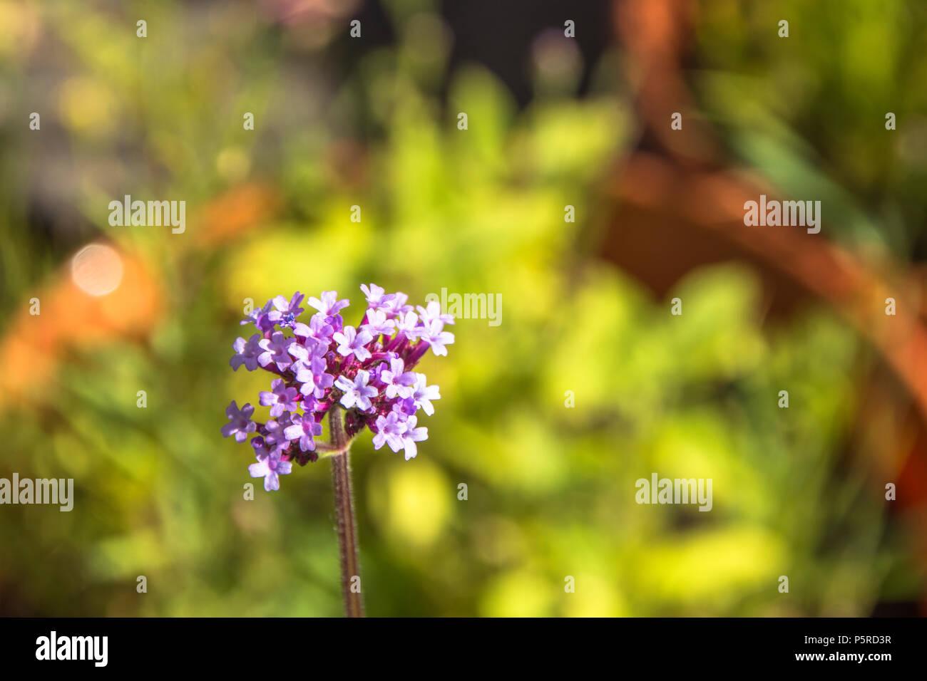 Argentinian vervain purple top v bonariensis is a tall perennial argentinian vervain purple top v bonariensis is a tall perennial 5 petalled salver shaped flowers annuals perennials izmirmasajfo