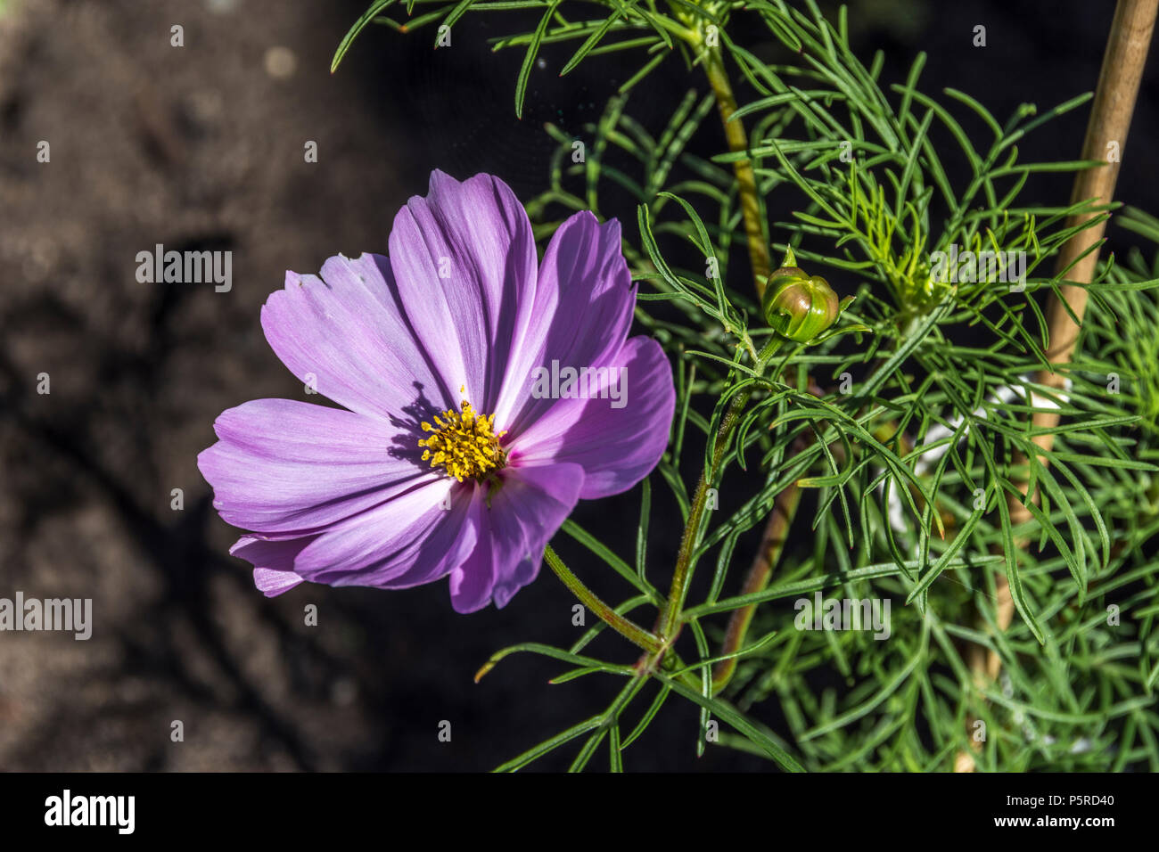 Cosmos Are Herbaceous Perennial Plants Or Annual Plants Purple