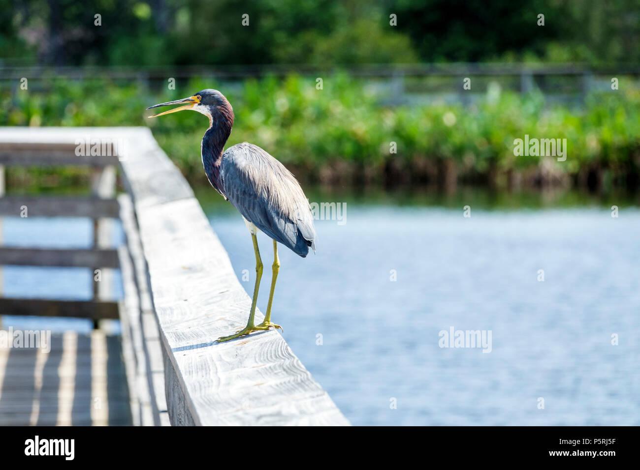 Delray Beach Florida Wakodahatchee Wetlands nature wildlife preserve park boardwalk trail protected bird habitat water reclamation project tricolored - Stock Image
