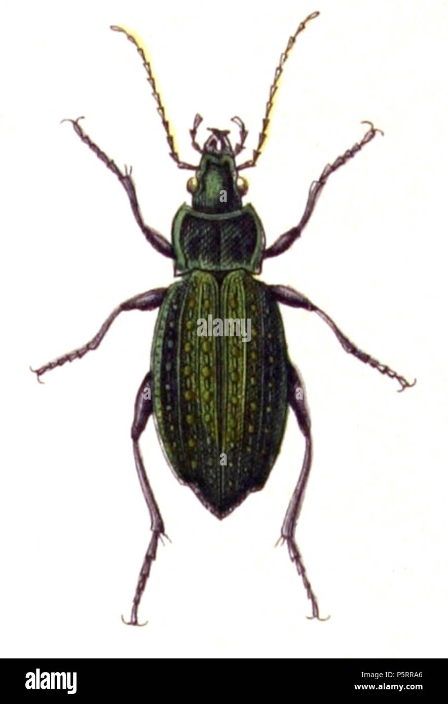 N/A. Carabus clathratus, from Calwer's Käferbuch, Table 3, Picture 3. Taxonomy was updated to 2008, using mostly the sites Fauna Europaea and BioLib. Please contact Sarefo if the determination is wrong! . 4 September 2010, 21:44 (UTC).  Carabus.clathratus.-.calwer.03.03.jpg: Book by    Carl Gustav Calwer  (1821–1874)    Description German ornithologist and entomologist  Date of birth/death 11 November 1821 19 August 1874  Location of birth/death Stuttgart Mineralbad Berg  Authority control  : Q78413 VIAF:64757747 ISNI:0000 0001 0980 5321 GND:116432969 SUDOC:146603133 Koninklijke:07228000X 270  - Stock Image