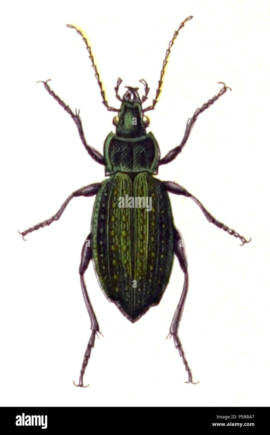 N/A. Carabus clathratus, from Calwer's Käferbuch, Table 3, Picture 3. Taxonomy was updated to 2008, using mostly the sites Fauna Europaea and BioLib. Please contact Sarefo if the determination is wrong! . 1876. Book by   Carl Gustav Calwer  (1821–1874)    Description German ornithologist and entomologist  Date of birth/death 11 November 1821 19 August 1874  Location of birth/death Stuttgart Mineralbad Berg  Authority control  : Q78413 VIAF:64757747 ISNI:0000 0001 0980 5321 GND:116432969 SUDOC:146603133 Koninklijke:07228000X      Gustav Jäger  (1832–1917)     Alternative names Gustav Jaeger; Gu - Stock Image