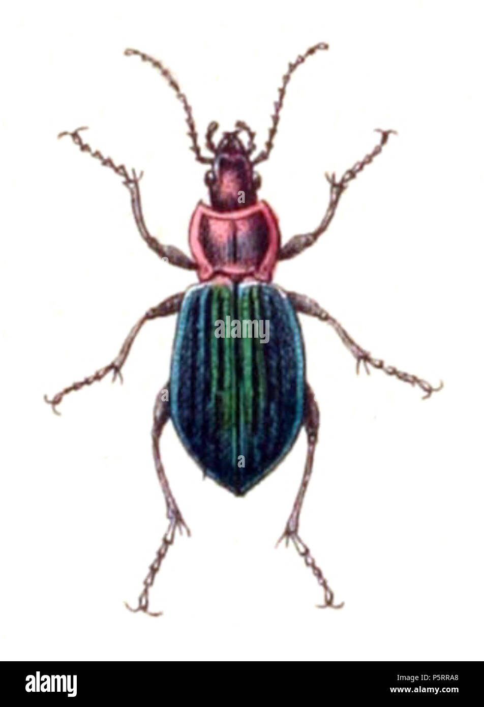 N/A. Carabus nitens, from Calwer's Käferbuch, Table 3, Picture 6. Taxonomy was updated to 2008, using mostly the sites Fauna Europaea and BioLib. Please contact Sarefo if the determination is wrong! . 1876. Book by   Carl Gustav Calwer  (1821–1874)    Description German ornithologist and entomologist  Date of birth/death 11 November 1821 19 August 1874  Location of birth/death Stuttgart Mineralbad Berg  Authority control  : Q78413 VIAF:64757747 ISNI:0000 0001 0980 5321 GND:116432969 SUDOC:146603133 Koninklijke:07228000X      Gustav Jäger  (1832–1917)     Alternative names Gustav Jaeger; Gustav - Stock Image