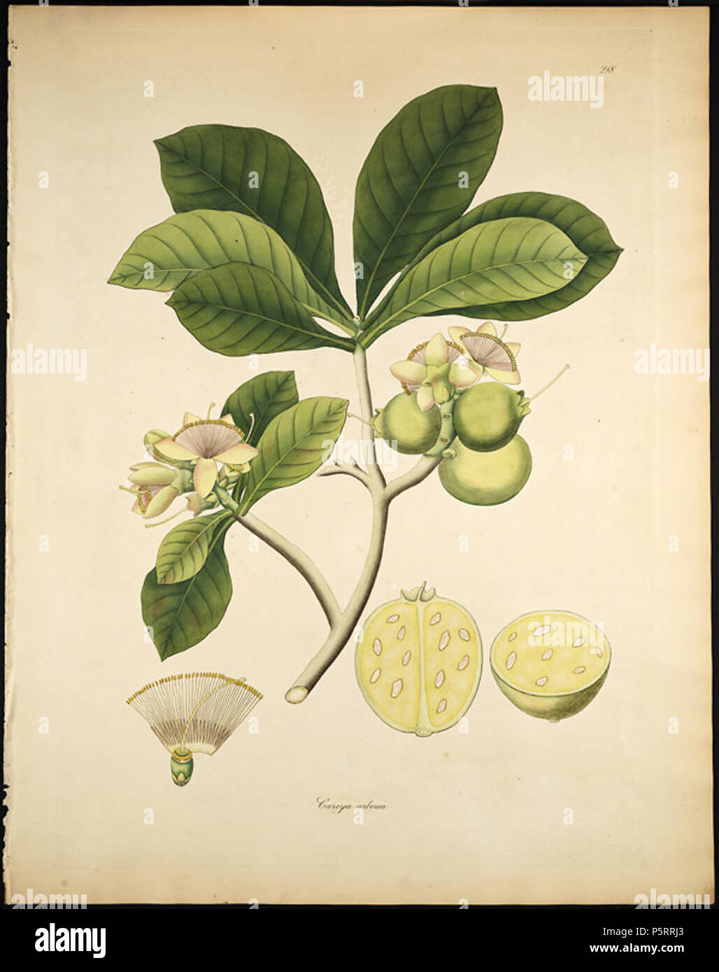 N/A  Careya arborea, the 'Slow Match Tree '   between 1795