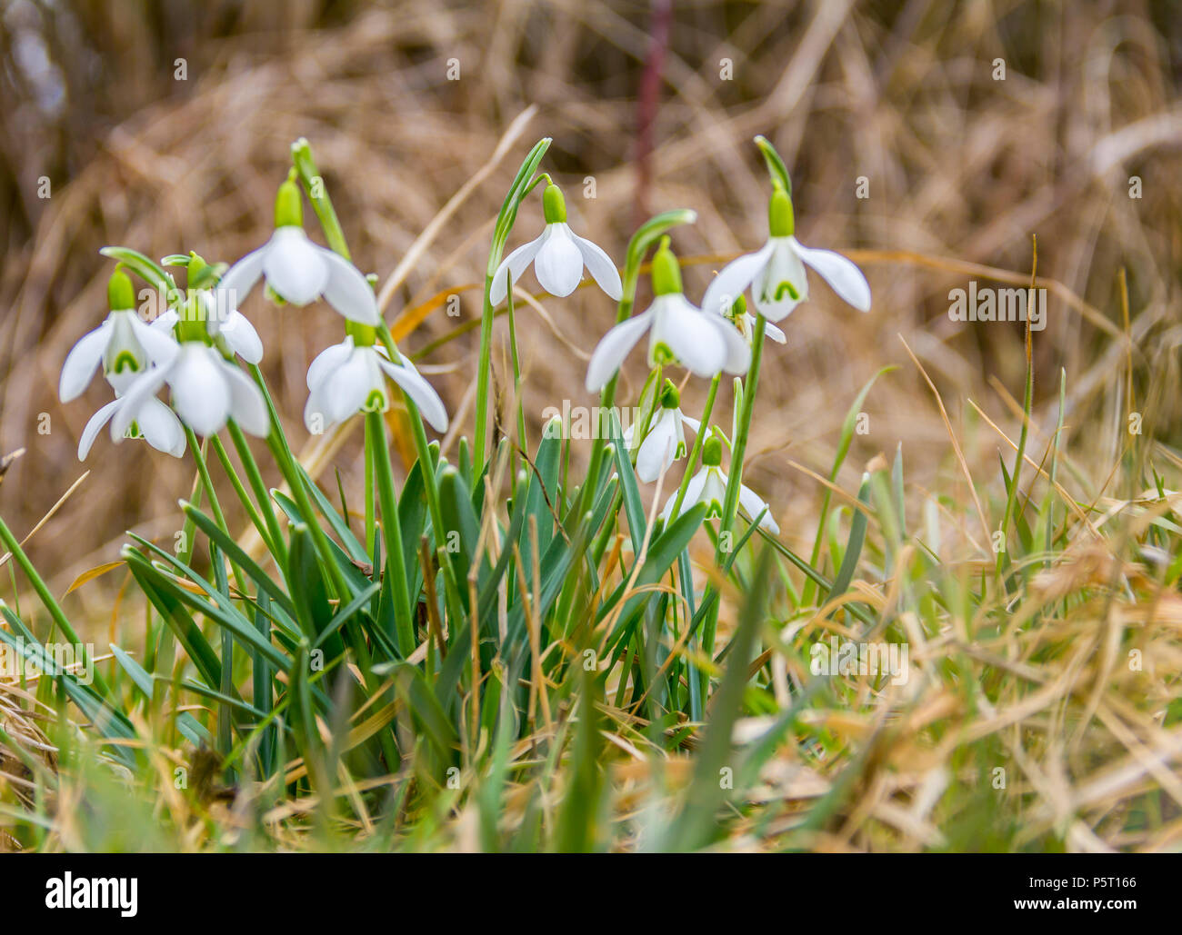 low angle shot of some abloom snowdrop flowers Stock Photo
