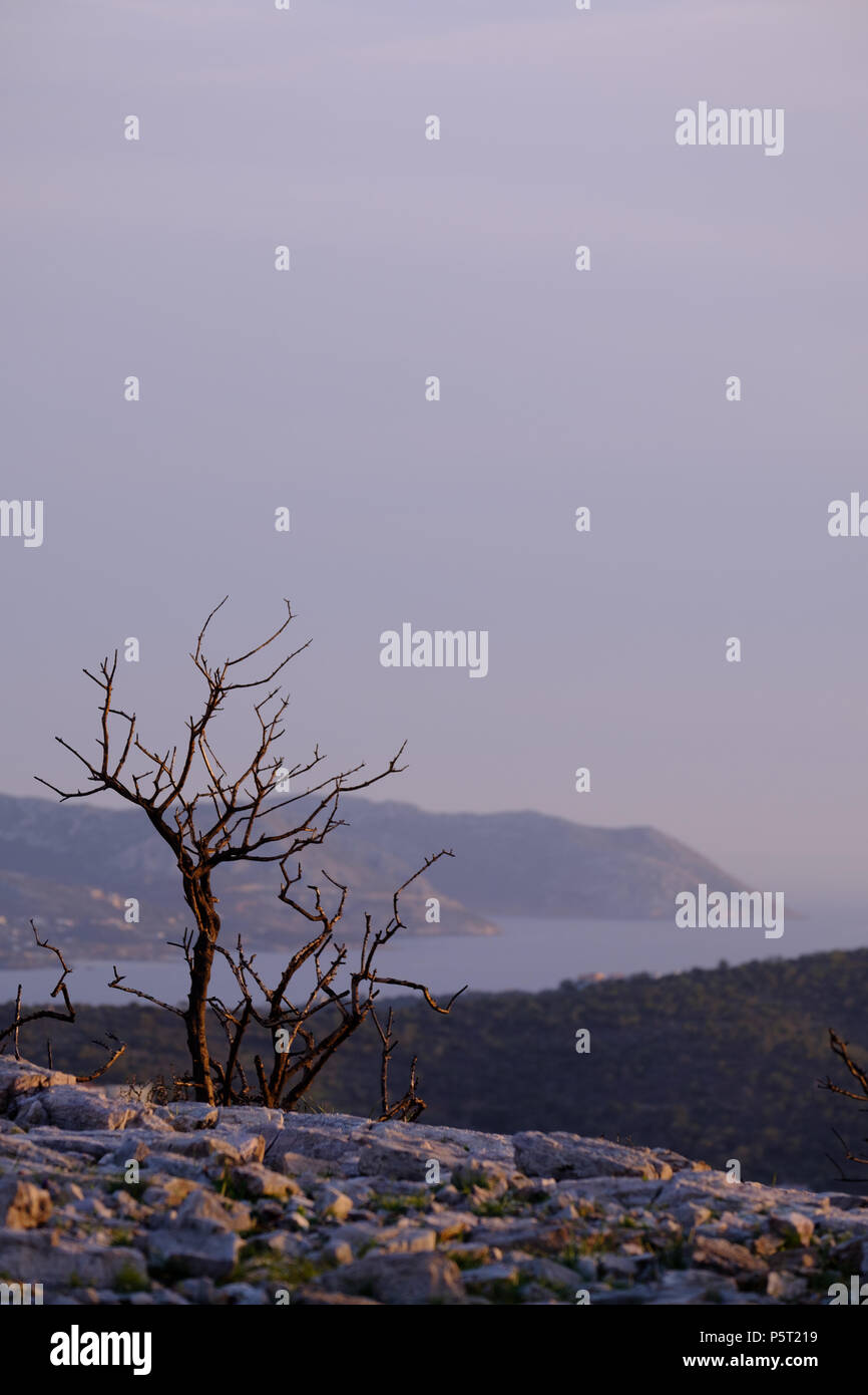 Fire Damage to Pine Tree (Pinus halepensis ) on top of Greek Mountains. Saronida, Greece. - Stock Image
