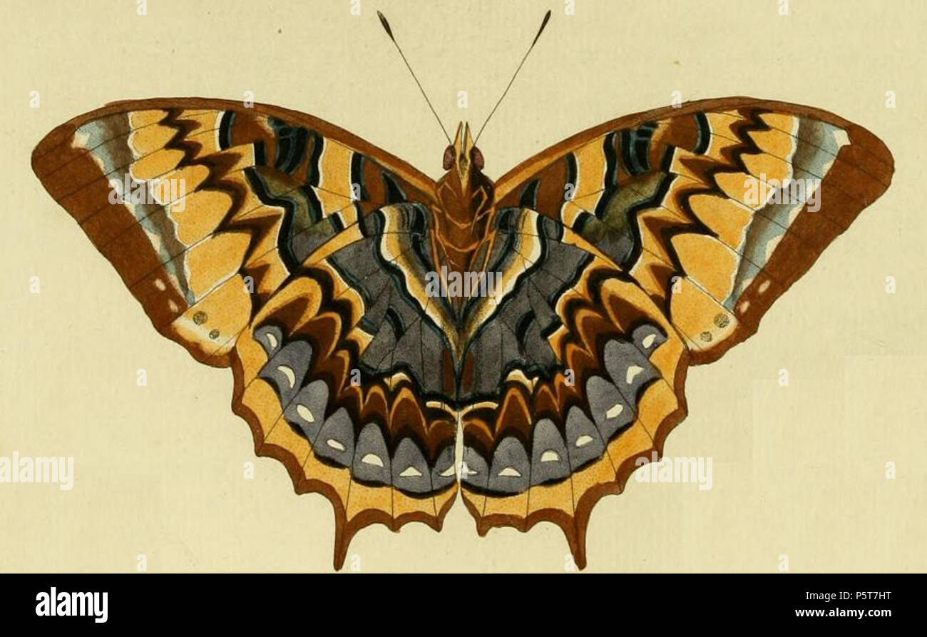 Bộ sưu tập cánh vẩy 4 - Page 19 Na-plate-cl-a-b-papilio-nisus-=-charaxes-eurialus-iconotype-see-funet-1779-pieter-cramer-1721-1776-and-caspar-stoll-between-1725-and-1730-1791-324-charaxes-eurialus1-P5T7HT