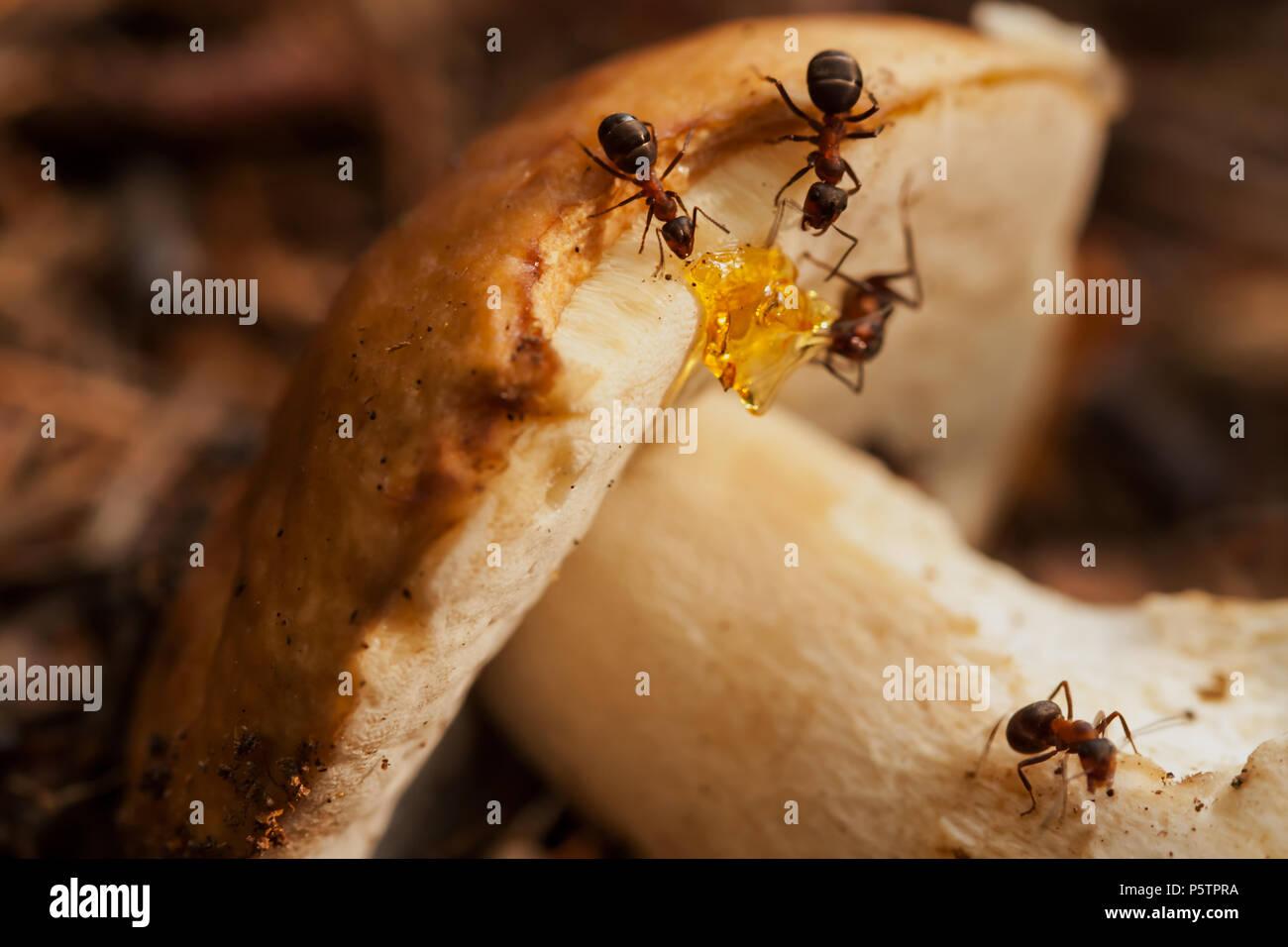 Hardworking ants work with mushroom. Teamwork - Stock Image