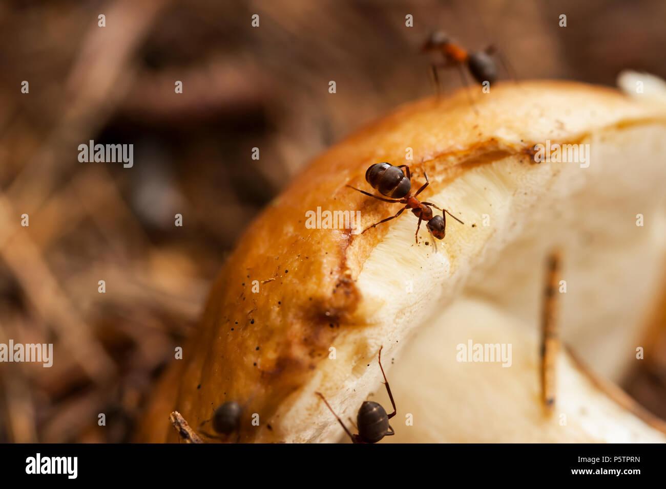 Little ants and big mushroom - Stock Image