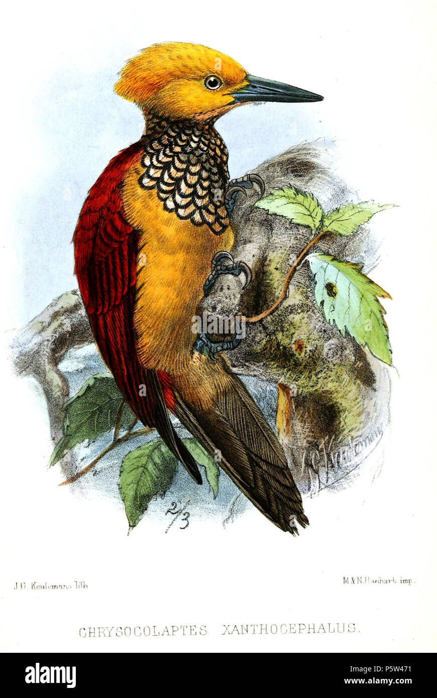 N/A.  English: « Chrysocolaptes xanthocephalus » = Chrysocolaptes xanthocephalus (Yellow-faced Flameback) Français: « Chrysocolaptes xanthocephalus » = Chrysocolaptes xanthocephalus . 1872.   John Gerrard Keulemans  (1842–1912)      Alternative names Johannes Gerardus Keulemans; J. G. Keulemans  Description Dutch ornithologist and artist  Date of birth/death 8 June 1842 29 December 1912  Location of birth/death Rotterdam London  Authority control  : Q1335286 VIAF:42113661 ISNI:0000 0000 6313 981X ULAN:500041975 LCCN:no98083374 NLA:35268760 WorldCat 346 ChrysocolaptesXanthocephalusKeulemans - Stock Image