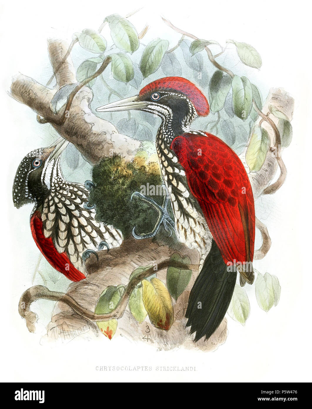 N/A. Chrysocolaptes lucidus stricklandi . 1878.   John Gerrard Keulemans  (1842–1912)      Alternative names Johannes Gerardus Keulemans; J. G. Keulemans  Description Dutch ornithologist and artist  Date of birth/death 8 June 1842 29 December 1912  Location of birth/death Rotterdam London  Authority control  : Q1335286 VIAF:42113661 ISNI:0000 0000 6313 981X ULAN:500041975 LCCN:no98083374 NLA:35268760 WorldCat    (June 8, 1842, Rotterdam - March 29, 1912); Author: W. Vincent Legge (2 September 1841 – 25 March 1918) 346 ChrysocolaptesStricklandiLegge - Stock Image