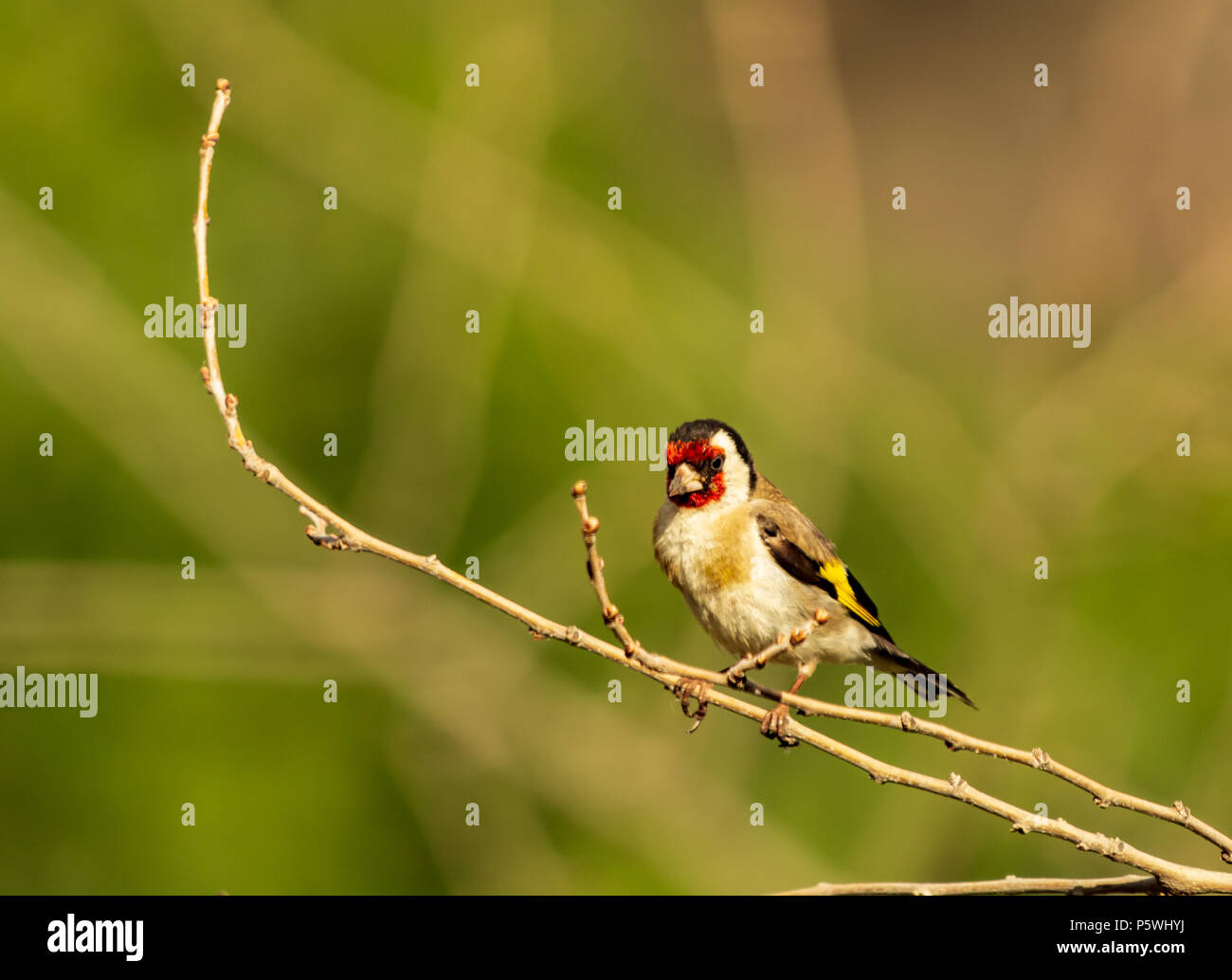 Carduelis carduelis, European Goldfinch, perching on a branch Stock Photo