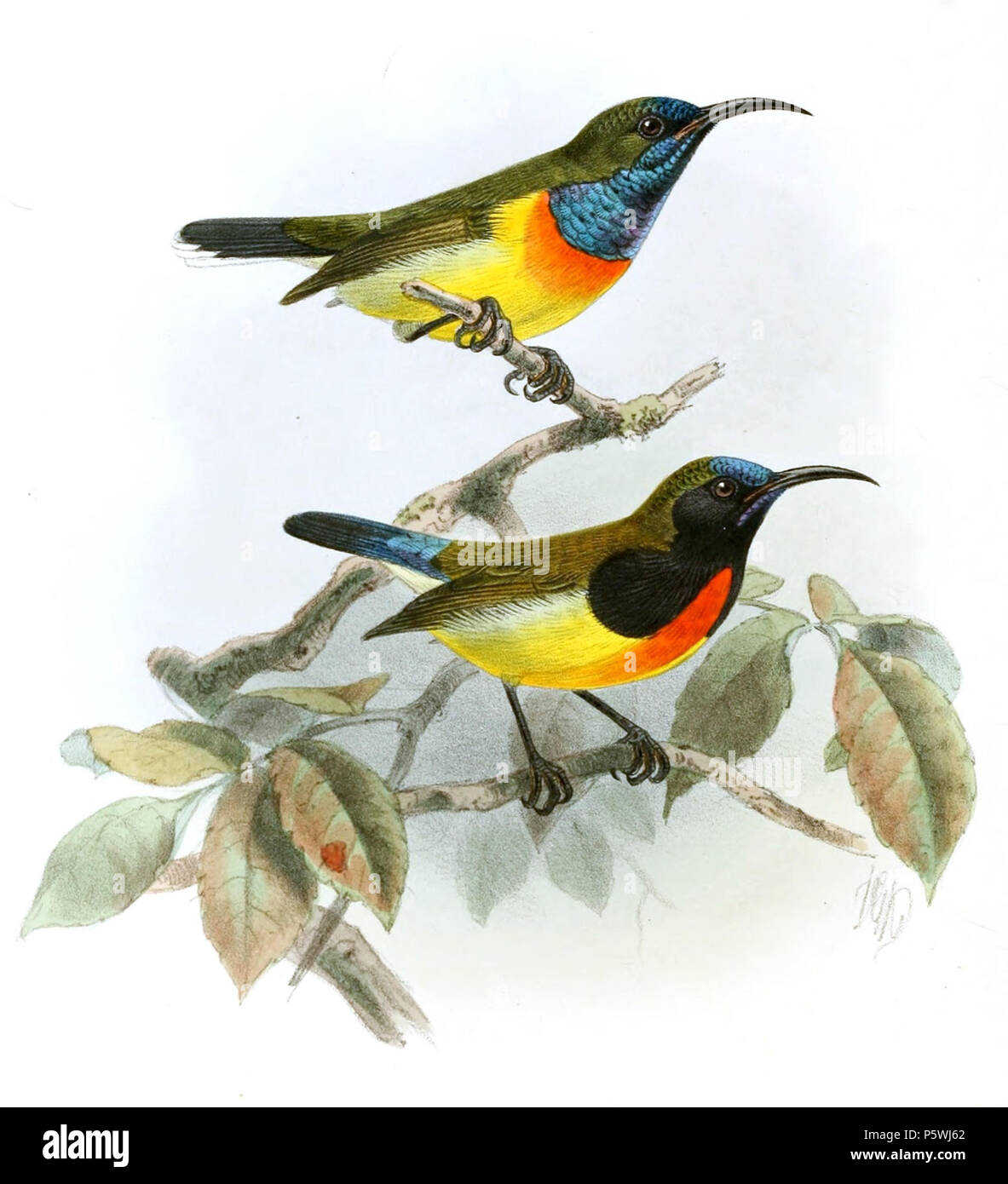 N/A. Cinnyris jugularis aurora , Aethopyga flagrans . 1880.   John Gerrard Keulemans  (1842–1912)      Alternative names Johannes Gerardus Keulemans; J. G. Keulemans  Description Dutch ornithologist and artist  Date of birth/death 8 June 1842 29 December 1912  Location of birth/death Rotterdam London  Authority control  : Q1335286 VIAF:42113661 ISNI:0000 0000 6313 981X ULAN:500041975 LCCN:no98083374 NLA:35268760 WorldCat 349 Cinnyris jugularis aurora - Aethopyga flagrans Keulemans - Stock Image
