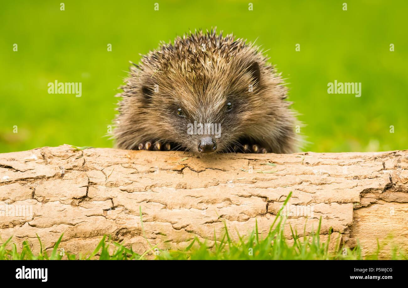 Hedgehog, small, young, native, wild, European hedgehog peeping over a log. Green background. Scientific name: Erinaceus europaeus.  Landscape. - Stock Image