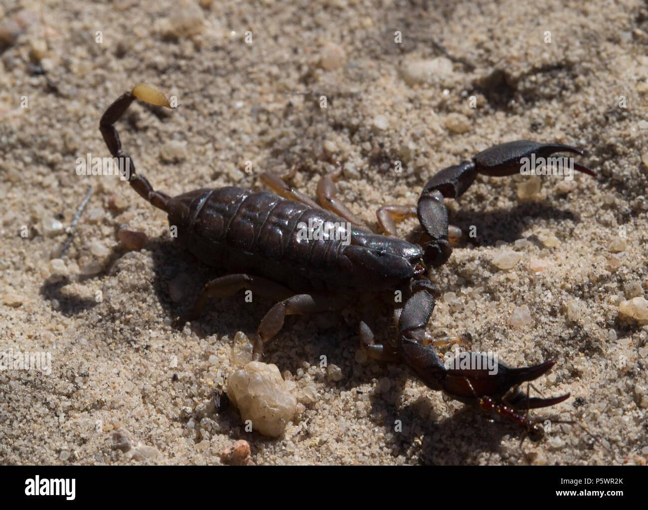 Madagascan scorpion - Stock Image