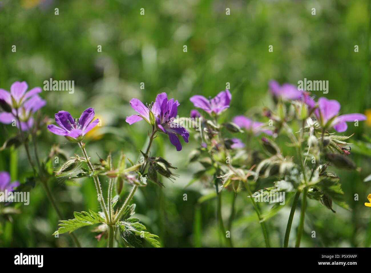 Storchschnabel, Wiese, Geranium - Stock Image