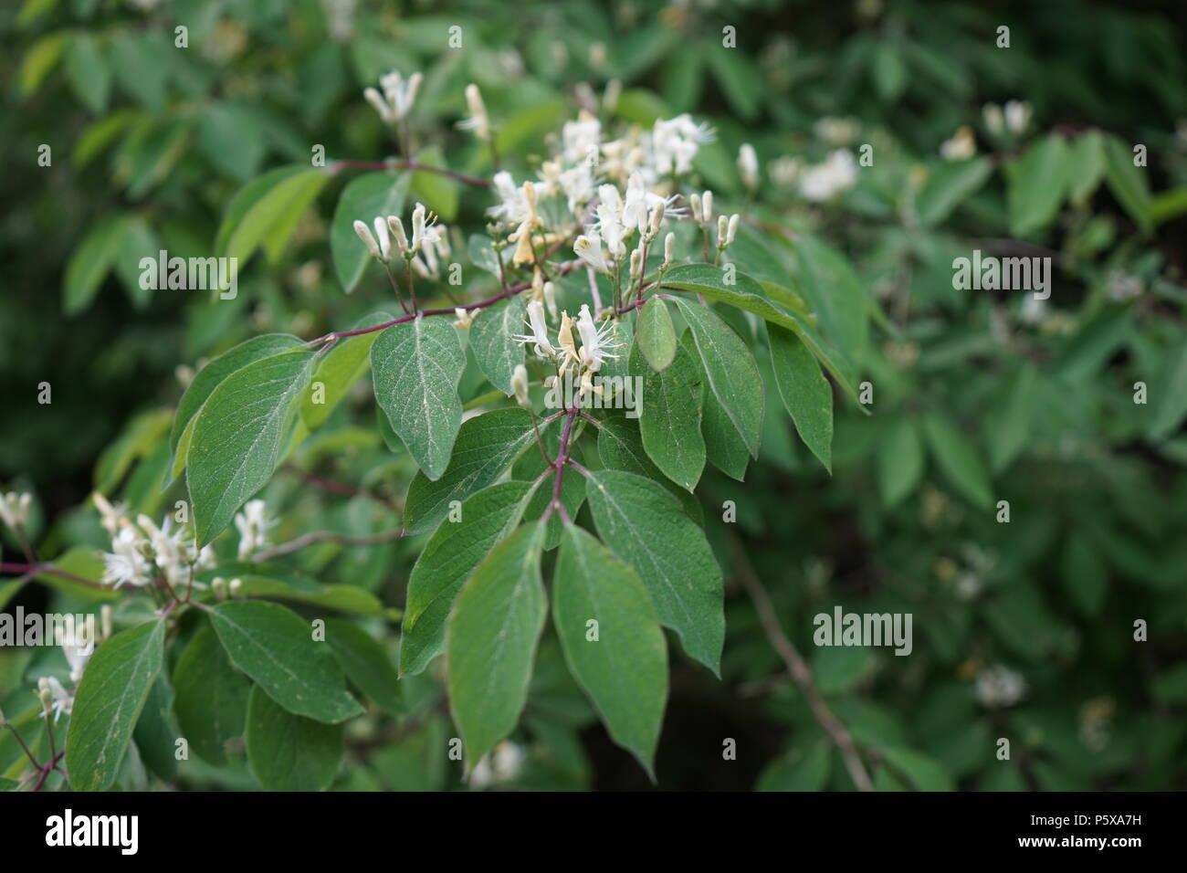 Rote Heckenkirsche oder Gewöhnliche Heckenkirsche (Lonicera xylosteum), blühender Zweig - Stock Image