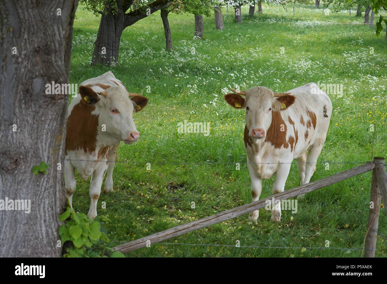 Two young Bulls on the Pasture, Southerm Germany, Europe Stock Photo
