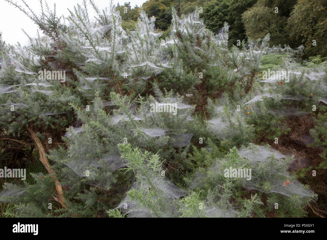 Thousands of spiders webs cover gorse bushes at Glendalough in County Wicklow, Ireland - Stock Image